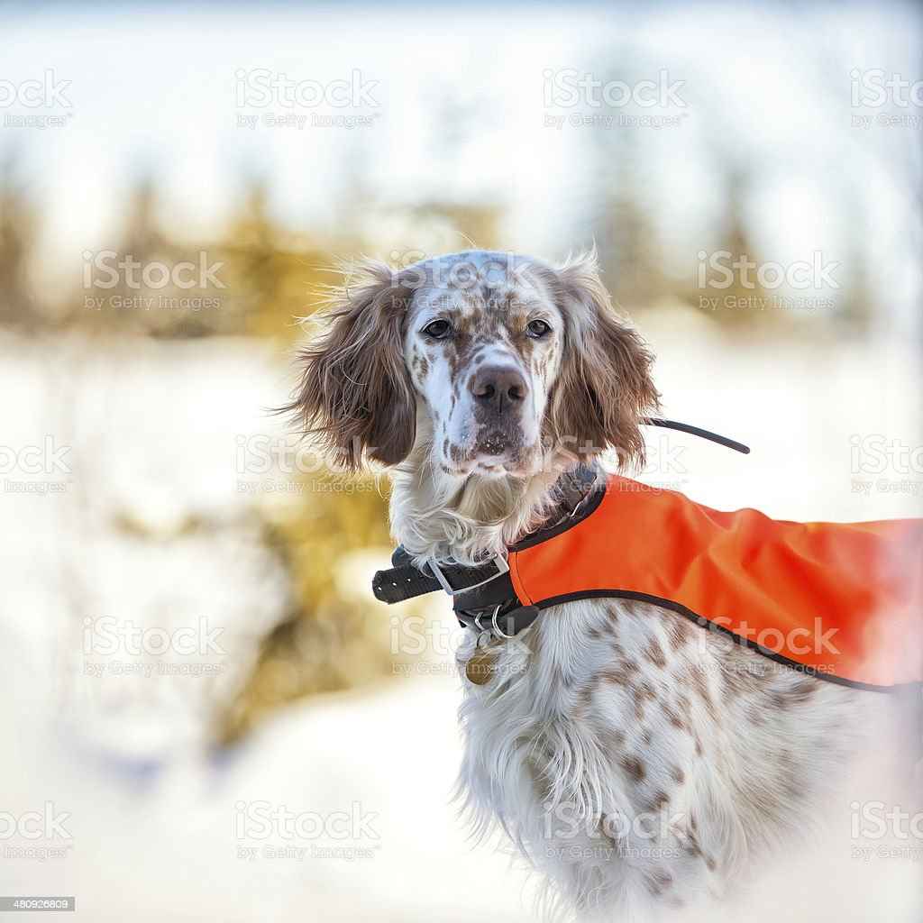English Setter with hunting vest and antenna, Norway stock photo
