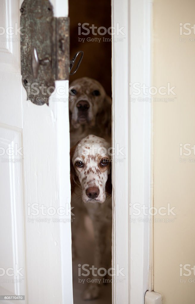 English Setters await their treats behind slightly open door, Norway stock photo