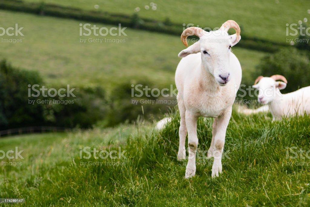 English Sheep stock photo
