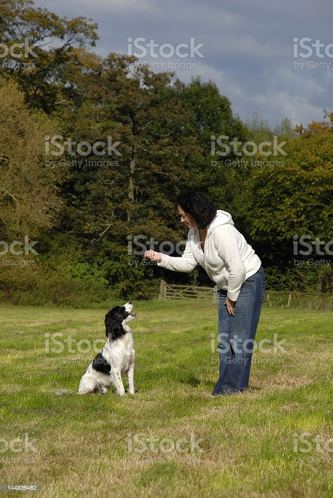 English Springer Spaniel Being Trained stock photo