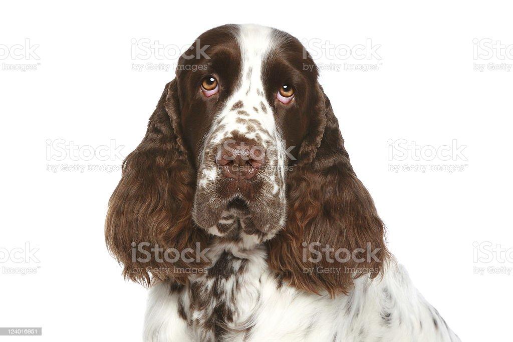 English Springer Spaniel. Close-up portrait stock photo
