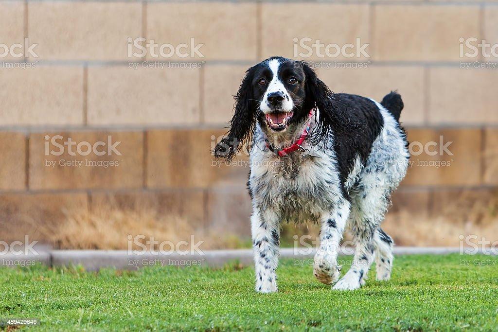 English Springer Spaniel Dog Playing in Yard stock photo