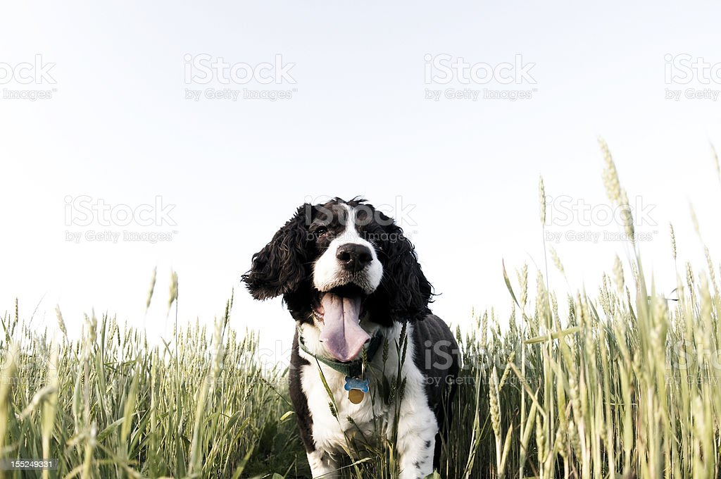 English Springer spaniel in grass stock photo