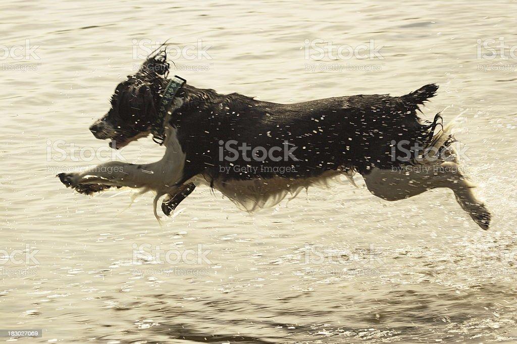 English Springer Spaniel Jumping Dog stock photo