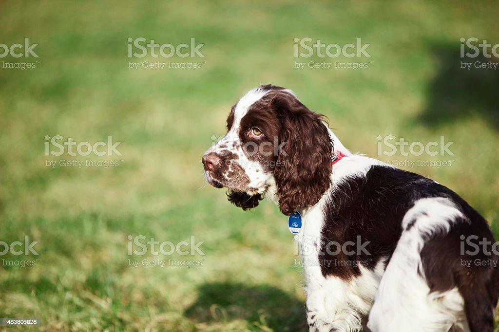 English Springer Spaniel on grass stock photo
