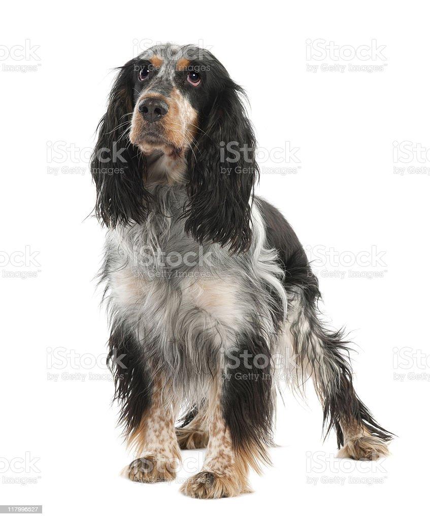 English Springer Spaniel (2 years old) stock photo