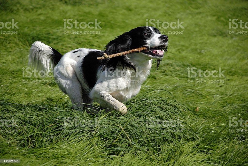 English Springer Spaniel stock photo