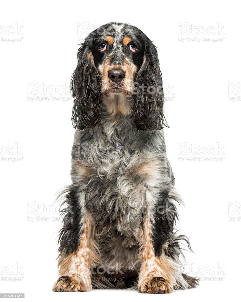 English Springer Spaniel (7 years old) stock photo
