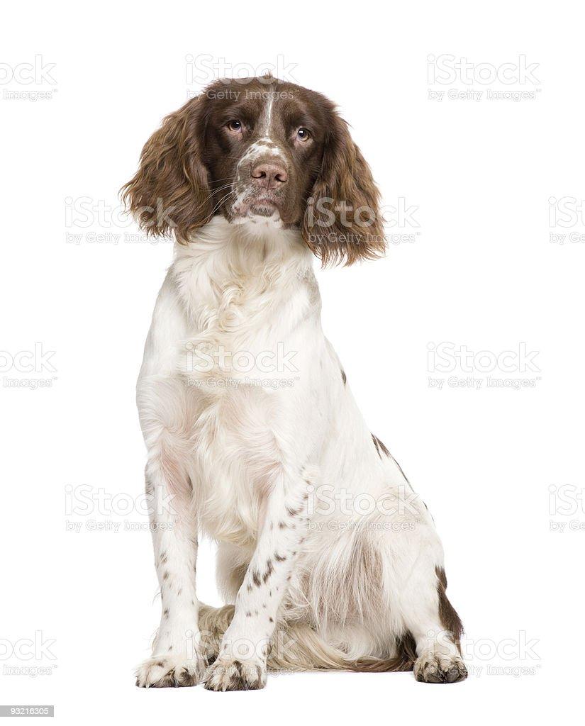 English Springer Spaniel (10 months) stock photo