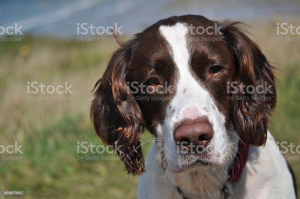 English Springer Spaniel Portrait stock photo