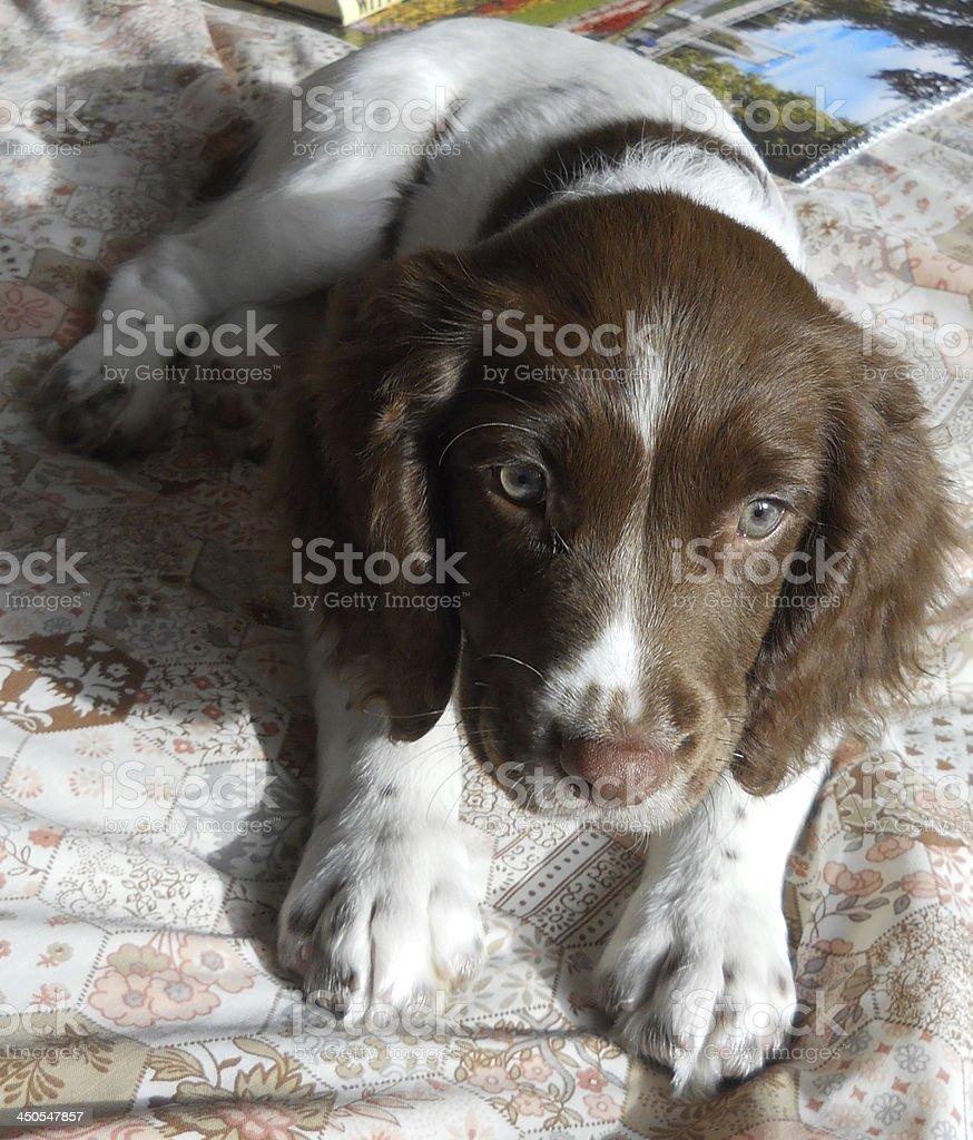 English Springer Spaniel Pup stock photo