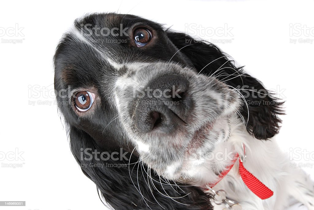 English springer spaniel puppy closeup royalty-free stock photo