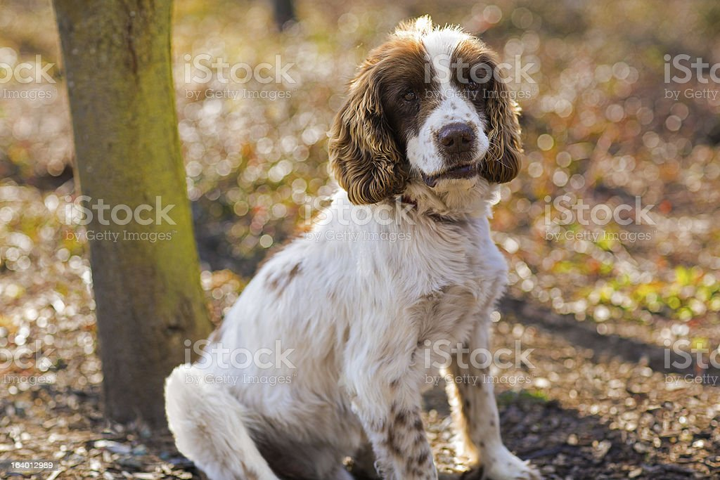 English Springer Spaniel resting after a hunt royalty-free stock photo