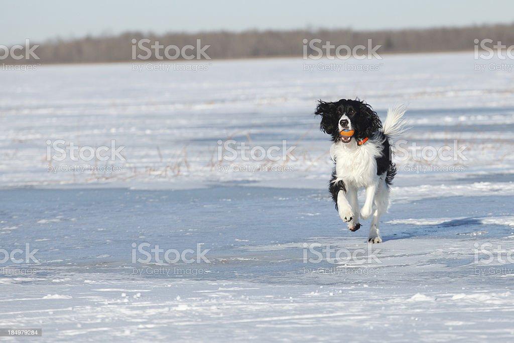 English Springer Spaniel Running on Frozen Lake stock photo