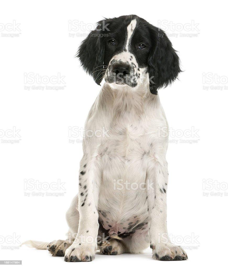 English Springer Spaniel sitting and looking at camera stock photo