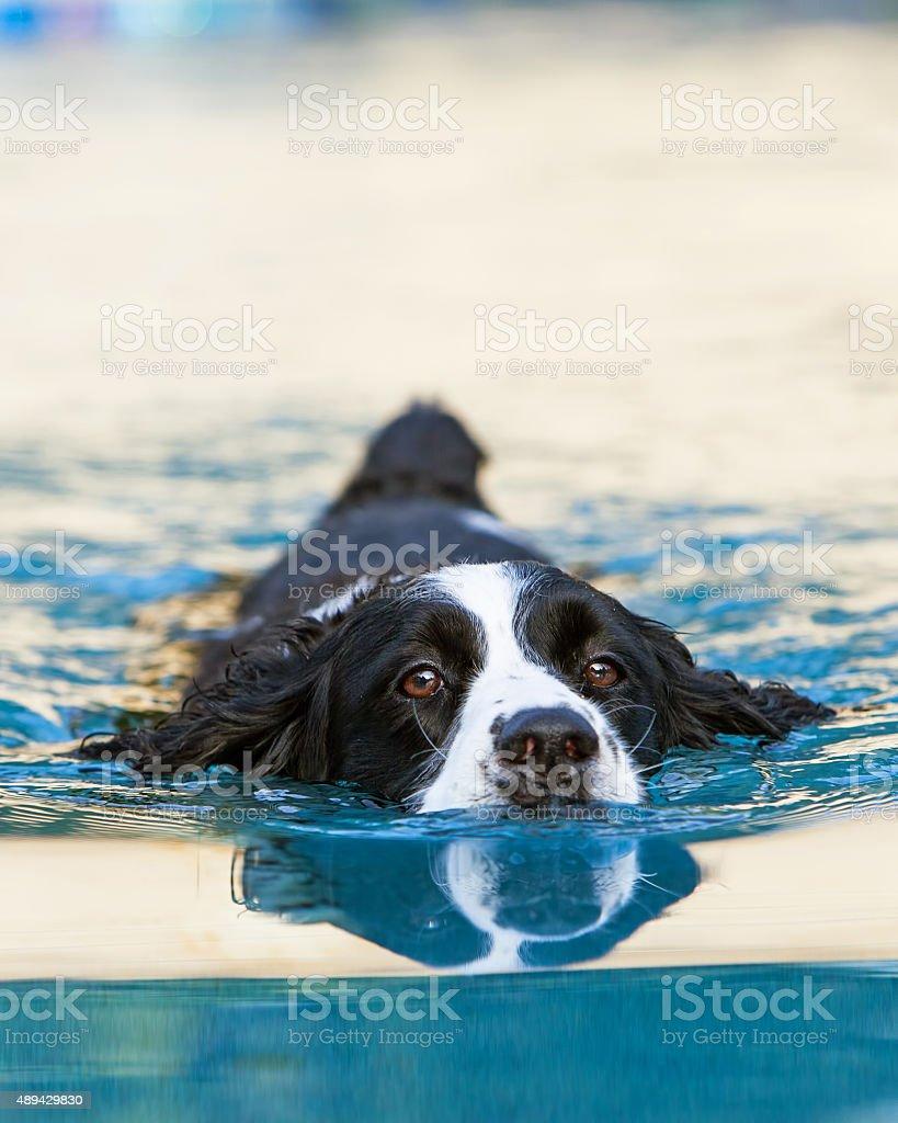 English Springer Spaniel Swimming in Pool stock photo