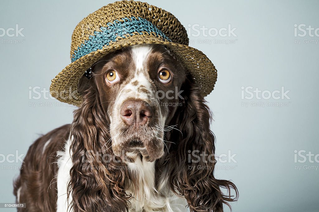 English springer spaniel with hat on stock photo