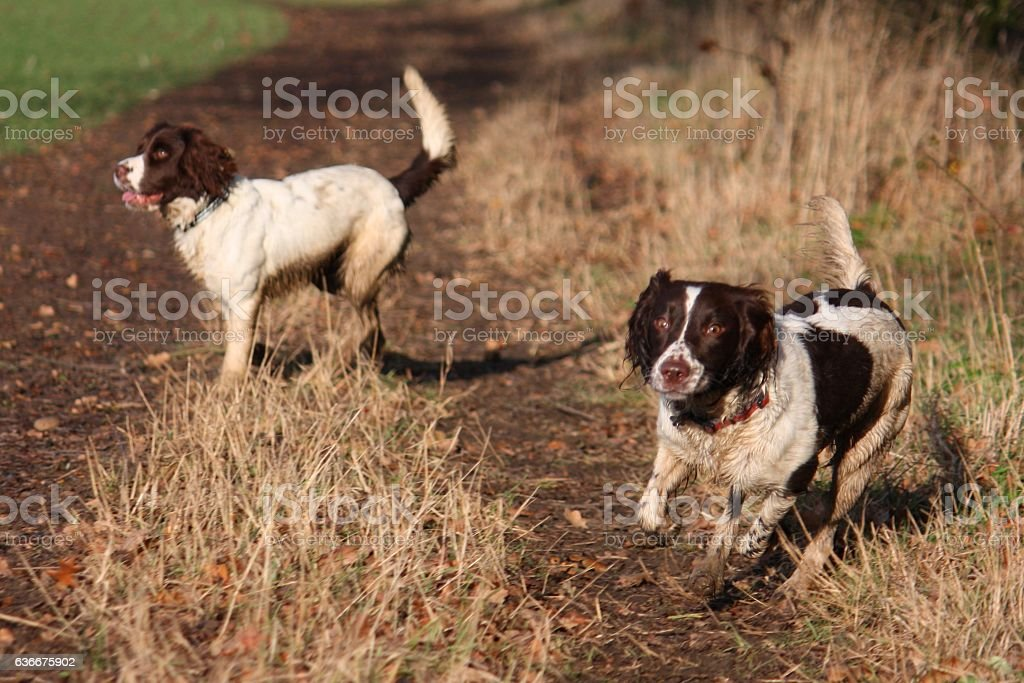 English Springer Spaniels stock photo