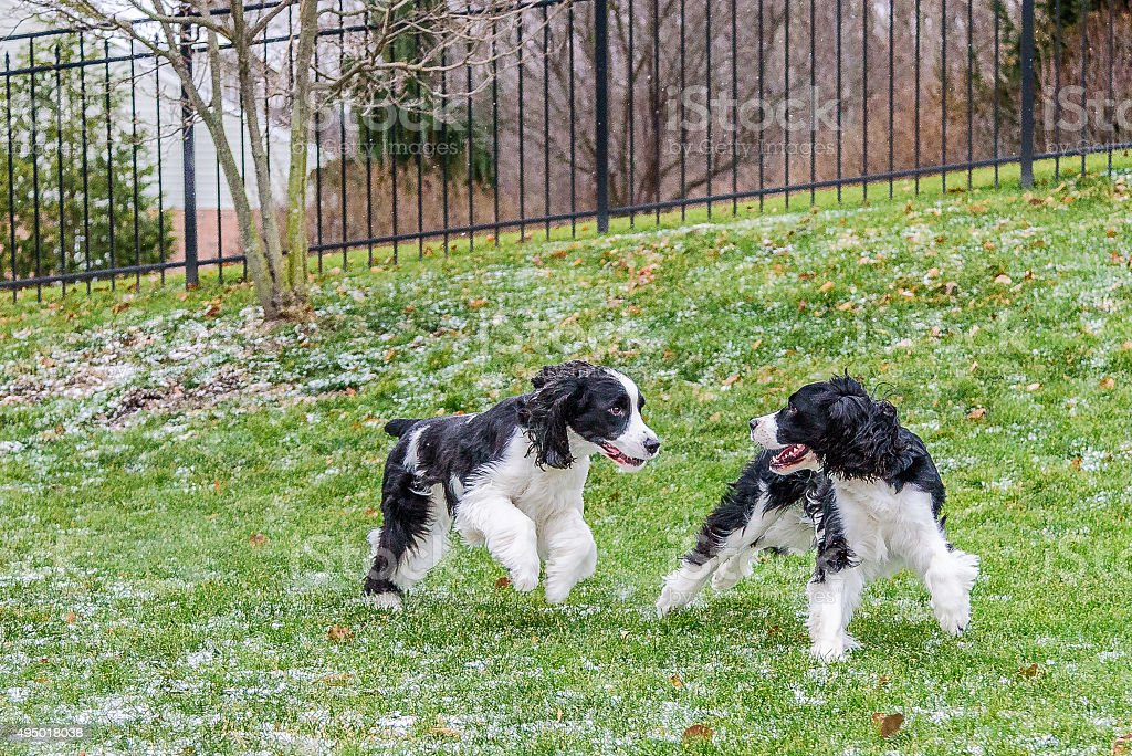 English Springer Spaniels Playing Chase stock photo