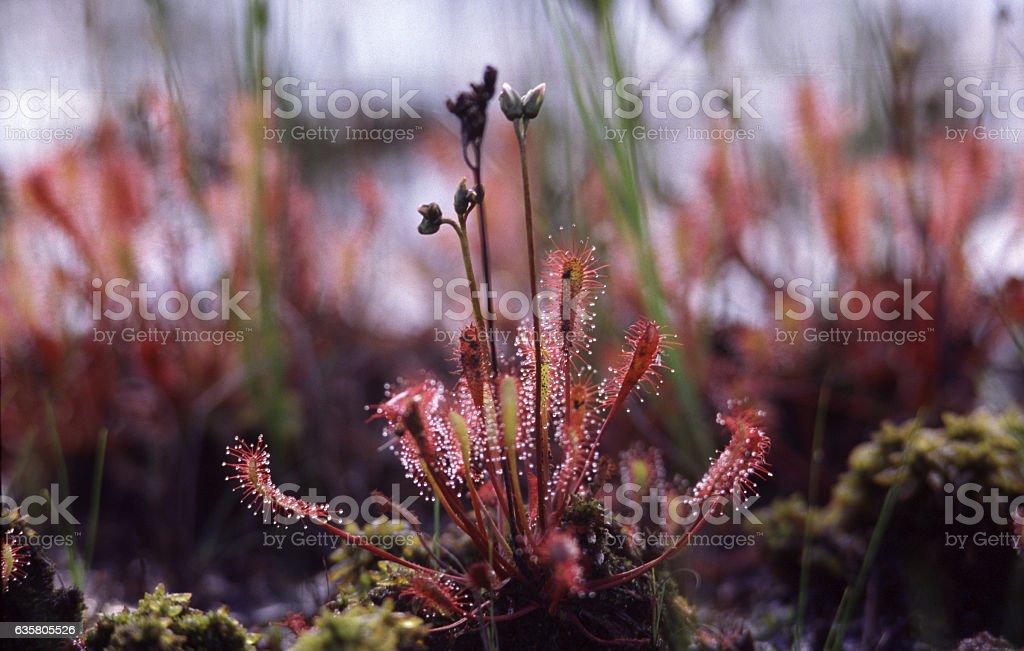 English sundew or great sundew stock photo