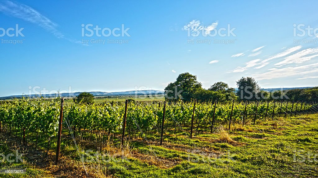English Vineyard in Sussex stock photo