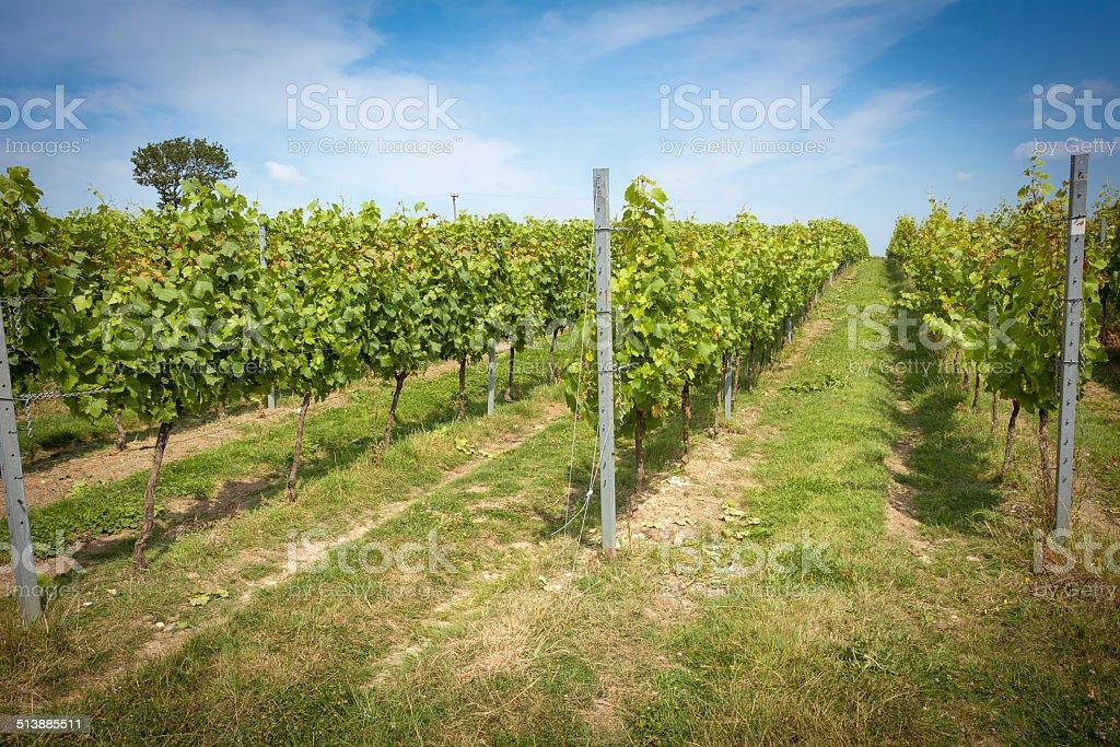 English vineyard stock photo