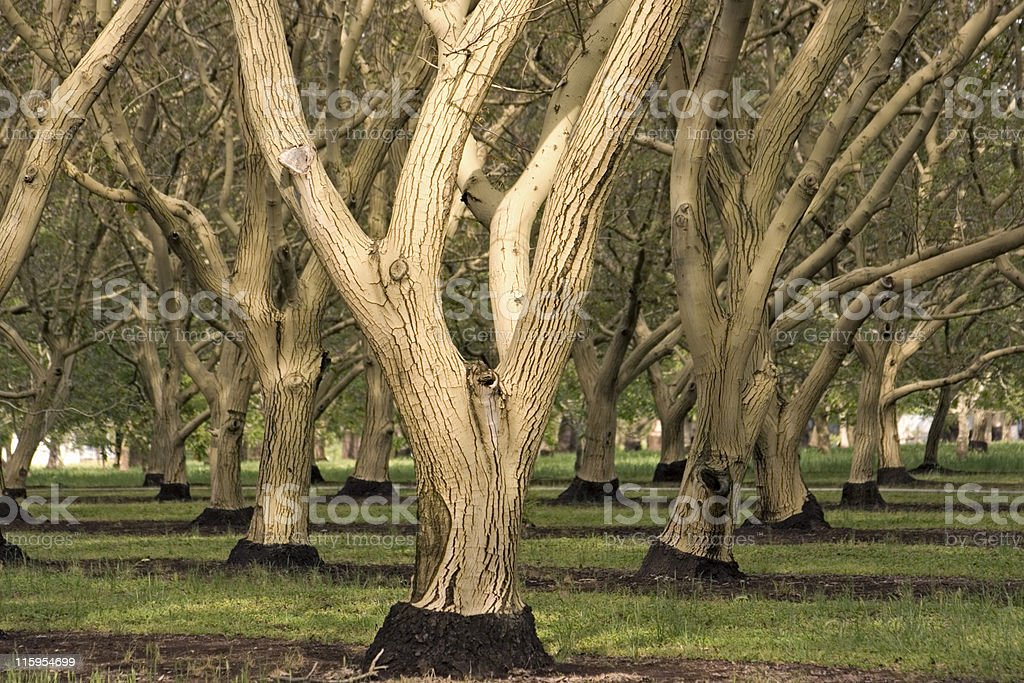 English Walnut Orchard, Red Bluff, California stock photo