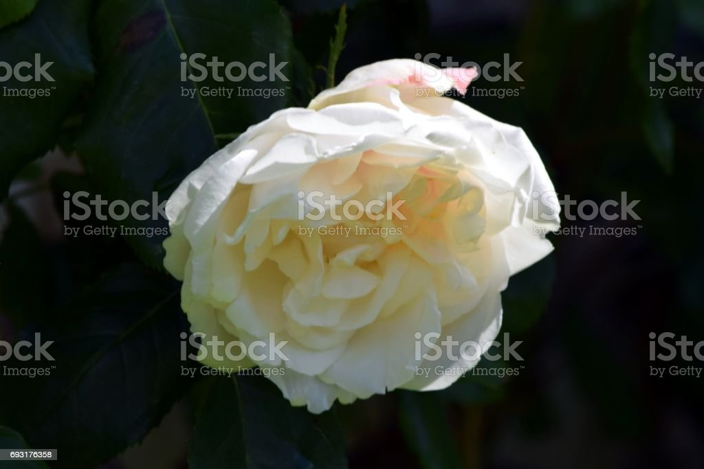 English White Rose stock photo