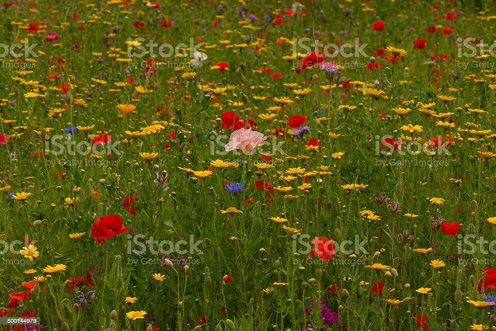 English Wildflower Meadow royalty-free stock photo
