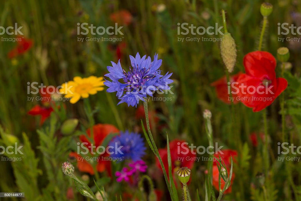 English Wildflowers royalty-free stock photo