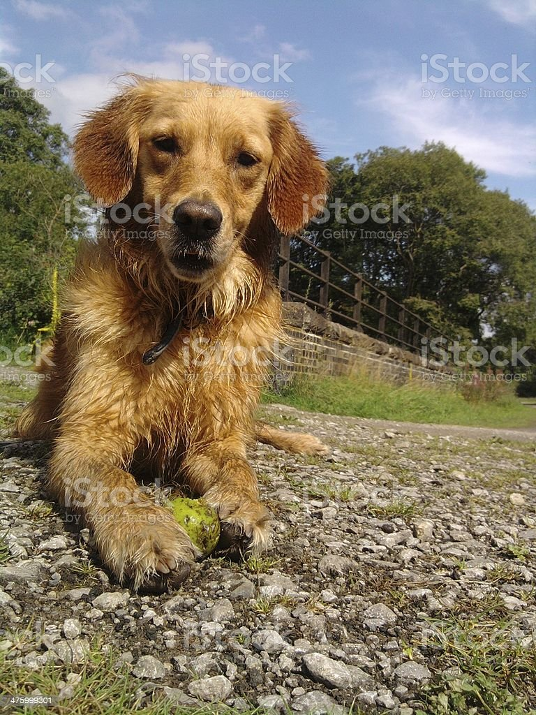 english working retriever with a ball stock photo
