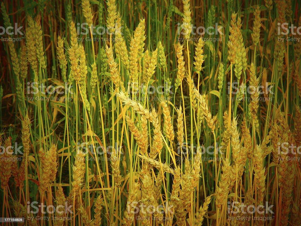 Enhanced Wheat Field royalty-free stock photo