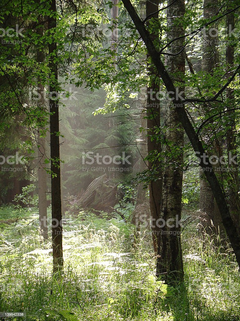 Enlightening - a misty forest royalty-free stock photo