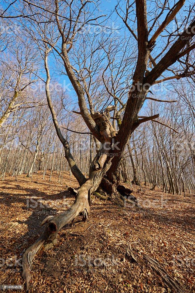 Enormous oak tree stock photo