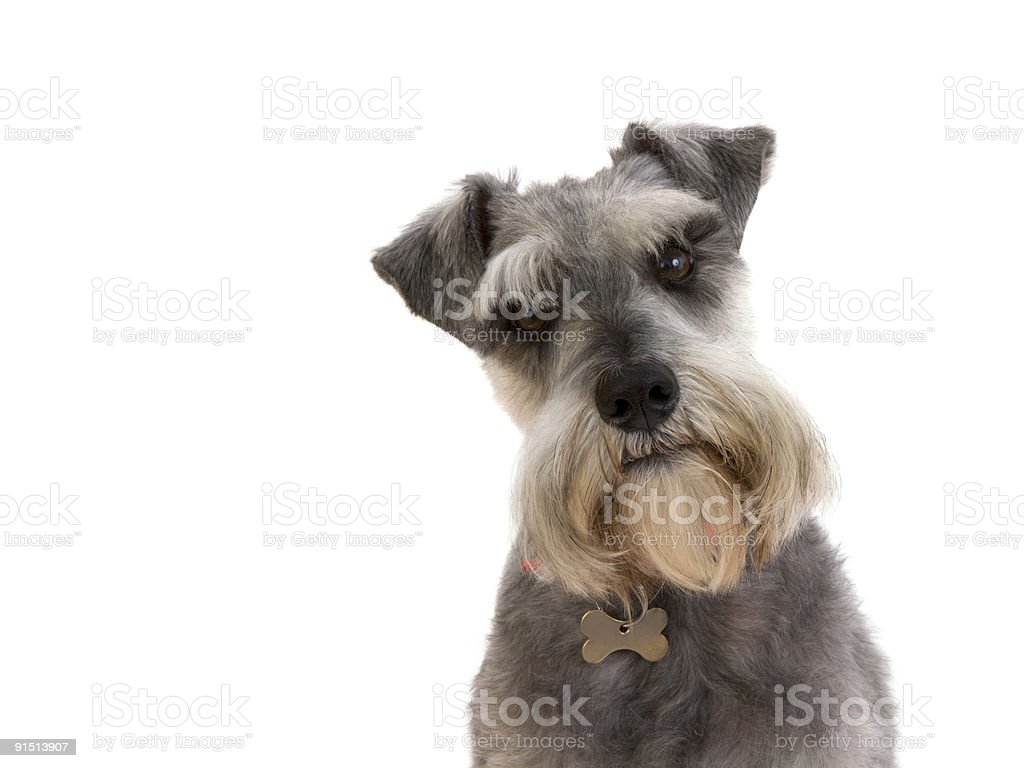 Enquiring look from a Schnauzer (XXXL) stock photo