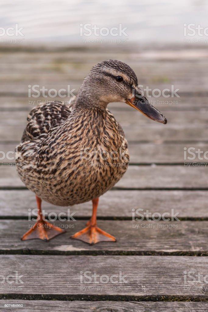 Ente auf einem Holzsteg stock photo
