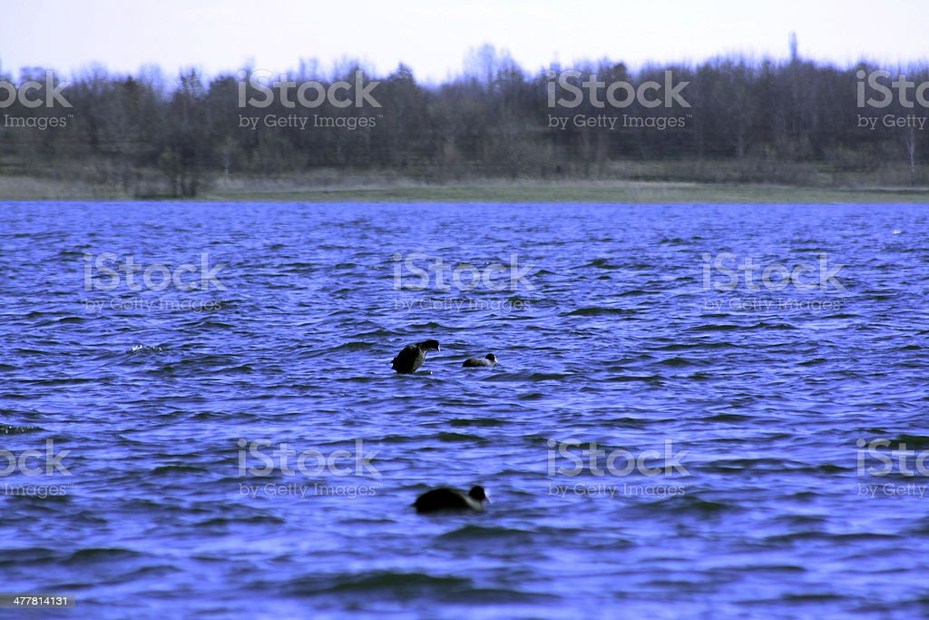 Enten stock photo