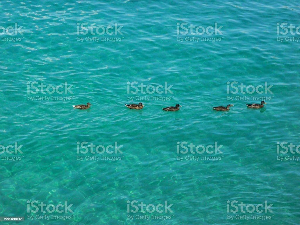 Enten schwimmen auf dem Mittelmeer bei Mallorca stock photo