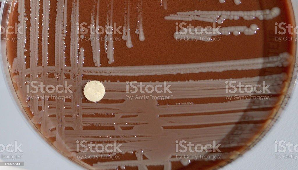 Enterobacteria royalty-free stock photo