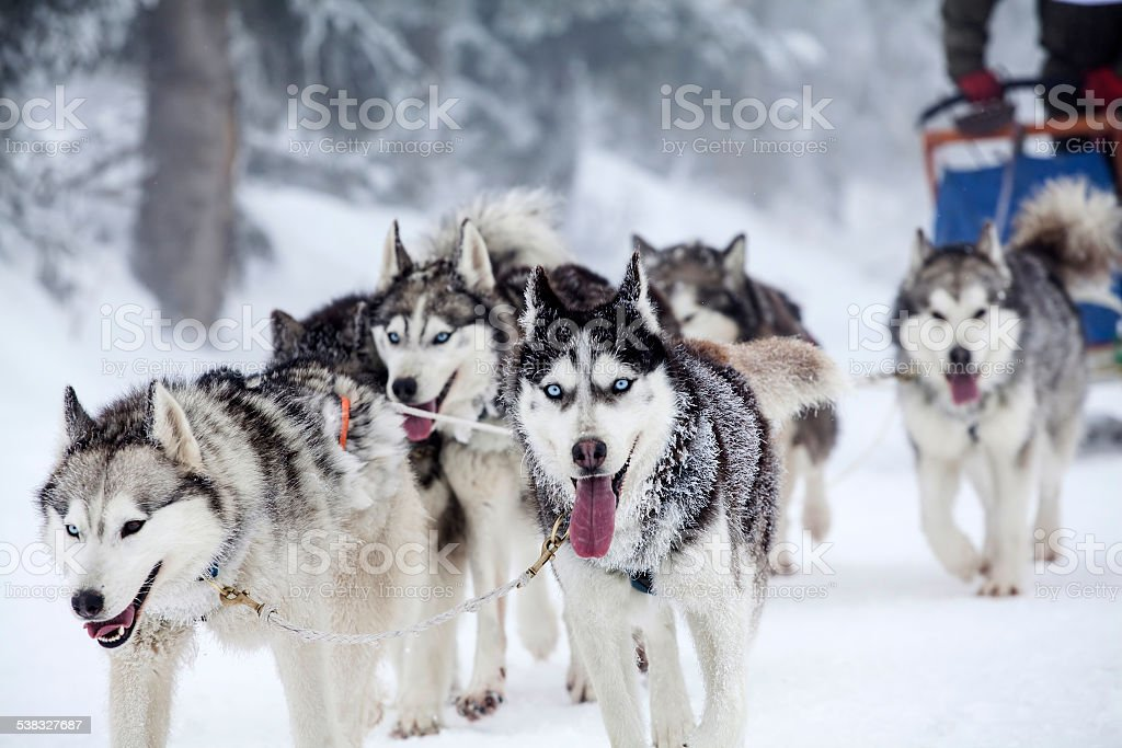 Enthusiastic team of dogs in a dog sledding race. stock photo