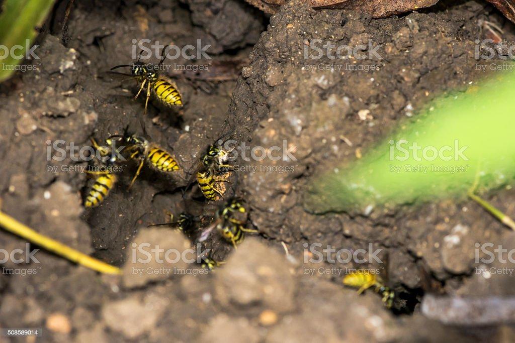Entry to a common wasp nest (Vespula vulgaris) stock photo