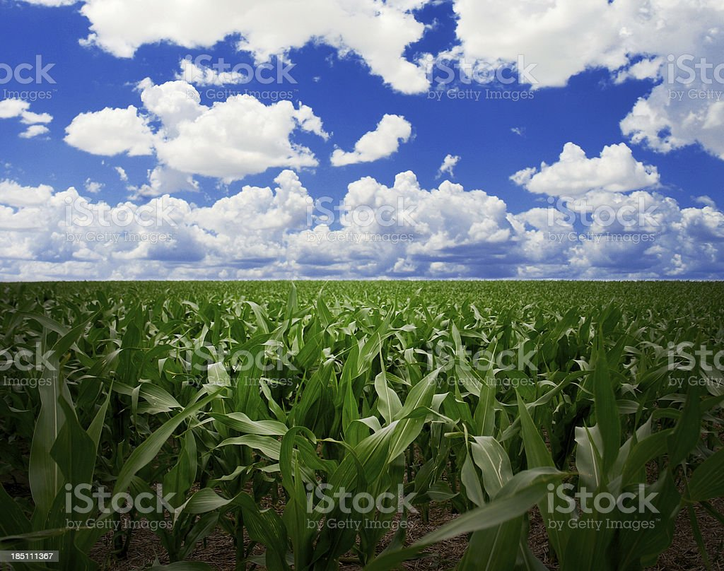 Environment of Earth: Clouds over Kansas Cornfield royalty-free stock photo