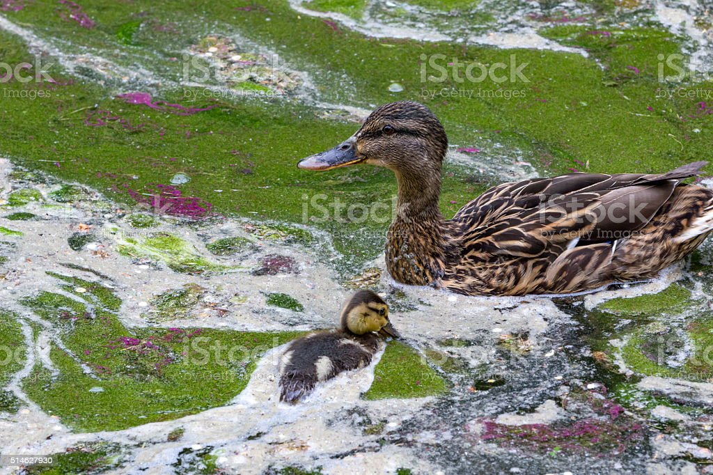 Environmental protection: Ducks family in dirty water stock photo