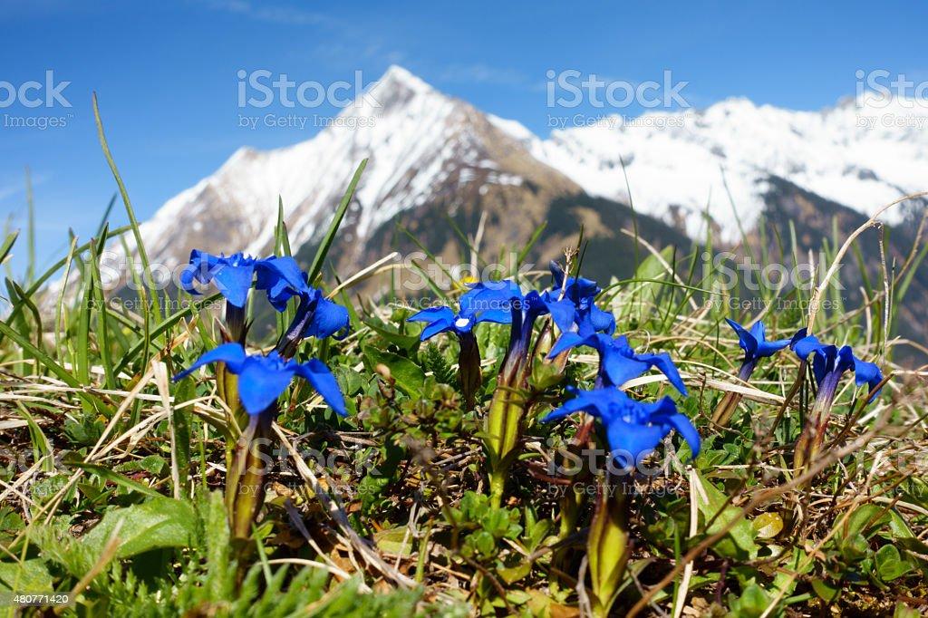 Enzian und Berg im Hintergrund stock photo