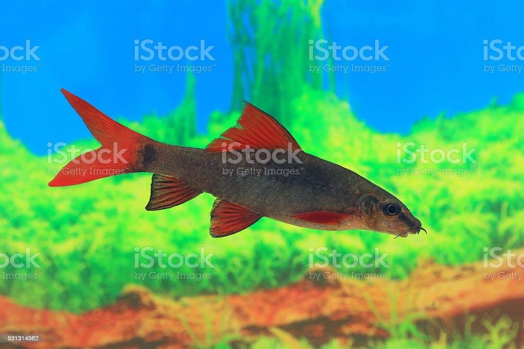 Epalzeorhynchos frenatum. Floating fish stock photo