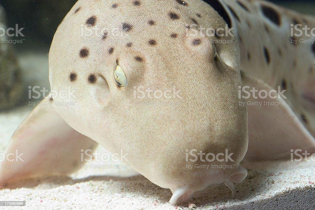 Epaulette shark face stock photo