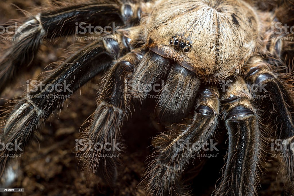 Ephebopus murinus tarantula stock photo