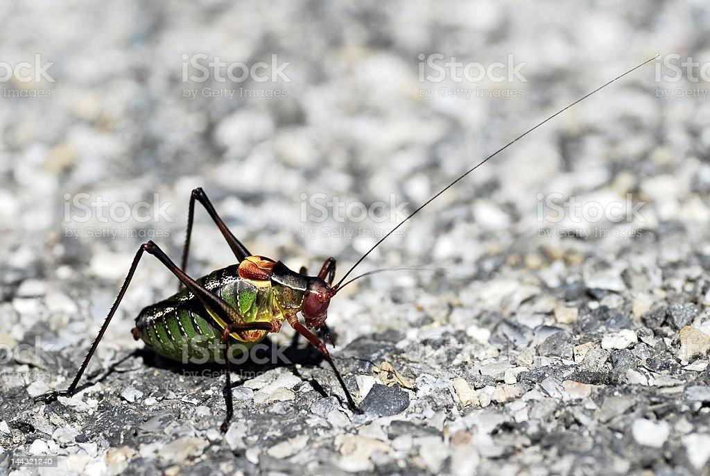 Ephippiger grasshopper stock photo