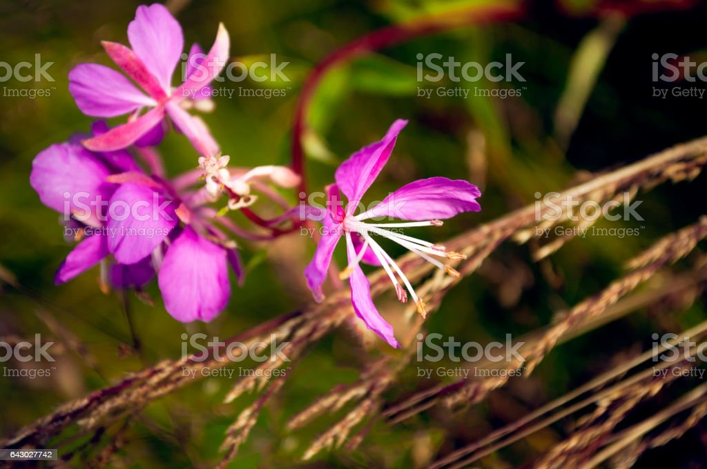 Epilobium or  blooming Sally flowers as nature background stock photo
