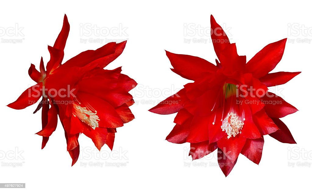 Epiphyllum red flowers on a white background stock photo